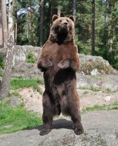 Медведь на задних лапах