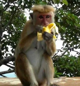 Обезьяна поедает фрукты