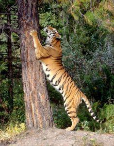 Тигр поднимает лапы